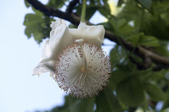 Free Baobab Flower Showing Stamens And Pistil Detail Stock Images - 96141554