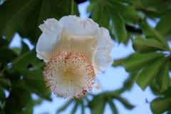 Baobab Flower Royalty Free Stock Images