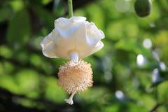 Baobab Flower Stock Photo