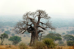 Baobab in the fog royalty free stock images