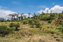 Baobab forest Royalty Free Stock Images