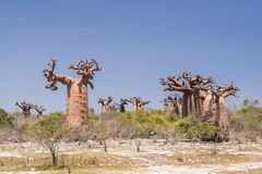 Baobab forest and savanna Royalty Free Stock Photography