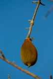 Baobab fruit Royalty Free Stock Photos