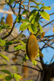 Baobab fruit Royalty Free Stock Images