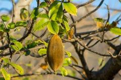 Baobab fruit. Baobab tree fruit growing in Africa stock photo