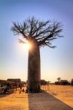 Baobab grande de la puesta del sol Imágenes de archivo libres de regalías