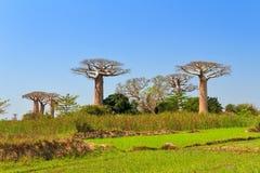 Baobab green field Royalty Free Stock Photo