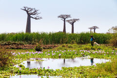 Baobab green water Stock Photography