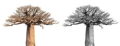 Baobab isolato Fotografia Stock