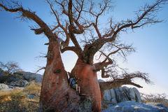 Baobab on Kubu island in winter Royalty Free Stock Photos