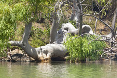 Baobab at Lake Baringo in Kenya. Stock Photo