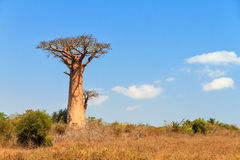 Baobab left Royalty Free Stock Images