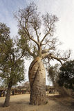 Baobab love in Madagascar with beautiful clouds in background. M Stock Images