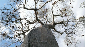 Baobab. Madagascar Royalty Free Stock Photo