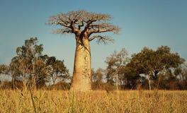 Baobab, Morondava, Madagascar Royalty-vrije Stock Foto's