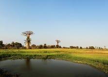 Baobab, Morondava, Madagascar Stock Fotografie