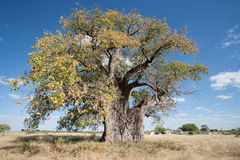Baobab in namibia Stock Photo
