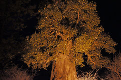 Baobab, Namibia, Africa Royalty Free Stock Image