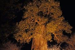 Baobab, Namibia, Afryka Obraz Royalty Free