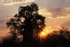 Baobab, Namibia, Afryka Zdjęcia Stock