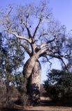 Baobab no amor fotos de stock royalty free