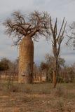 Baobab oder umgedrehter Baum Lizenzfreies Stockfoto