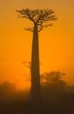 Baobab på gryning madagascar Royaltyfri Foto