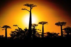Baobab på solnedgången Arkivbild