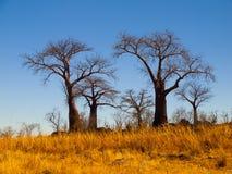 Baobab-Paradies nahe Savuti Stockfotografie