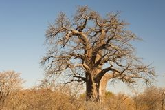 Baobab plant in the african savannah with clear blue sky. Botswana, one of the most attractive travel destination in Africa. Baobab plant in the african Stock Images