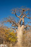 Baobab plant and moon in the african savannah with clear blue sky. Botswana, one of the most attractive travel destination in Afri. Ca Stock Photo