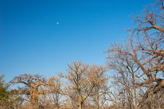 Baobab plant and moon in the african savannah with clear blue sky. Botswana, one of the most attractive travel destination in Afri. Ca Royalty Free Stock Photos