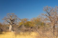Baobab plant and moon in the african savannah with clear blue sky. Botswana, one of the most attractive travel destination in Afri. Ca Stock Photos