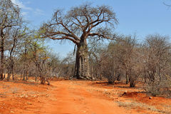 Baobab and red soil in Africa Royalty Free Stock Photos