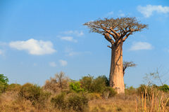 Baobab right Royalty Free Stock Photos