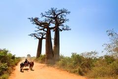Baobab road Zebu car Royalty Free Stock Photos