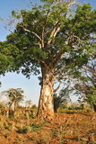 Baobab in savanna in eastern Mozambique Royalty Free Stock Images
