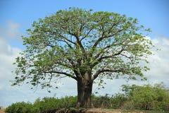 Baobab Senegal immagini stock libere da diritti