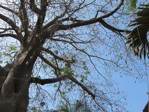 Baobab Royalty Free Stock Images