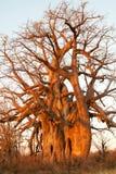 Baobab in sera Fotografia Stock Libera da Diritti