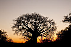 Baobab silhouette against an African sunset. Distinct silhouette of an iconic baobab tree at susnet in the African bush royalty free stock photo