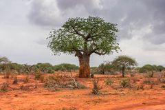 Baobab solitário no parque de Ngutuni Safari de Kenya imagens de stock royalty free