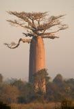 Baobab solo sui precedenti del cielo madagascar Fotografia Stock