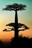 Baobab am Sonnenuntergang Stockfotos