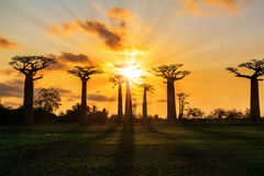 Baobab sunburst landscape Royalty Free Stock Images