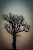 Baobab at sunrise Stock Photos
