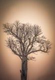 Baobab at sunrise Stock Images