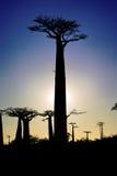 Baobab at sunset Royalty Free Stock Photo
