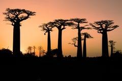 Baobab at sunset. Baobab road in the madagascar at sunset Stock Image