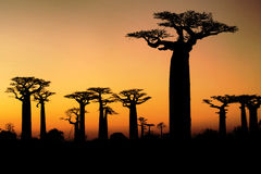 Baobab at sunset. Baobab road in the madagascar at sunset Royalty Free Stock Photo